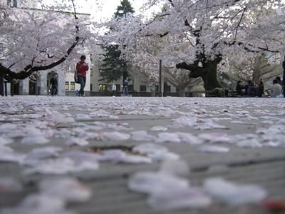 The Sakura Boulevard